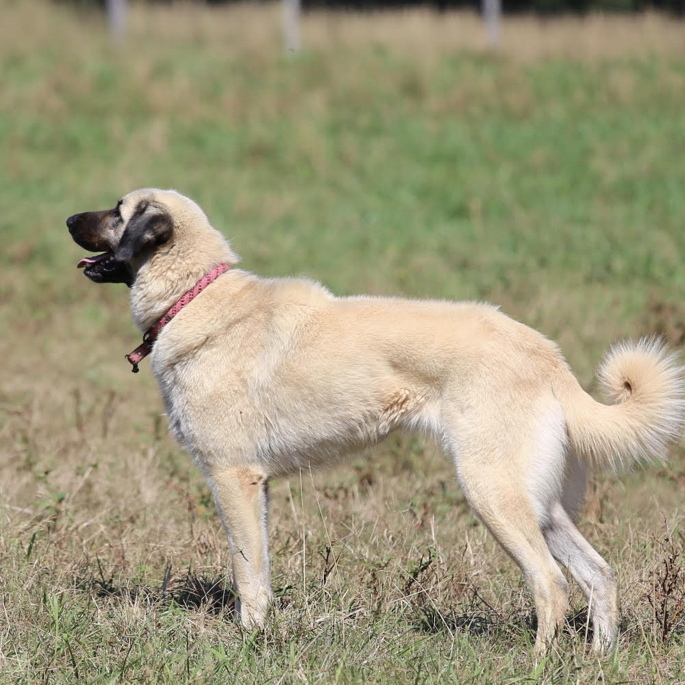 anatolian shepherd breeder